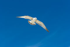 Ring-billed Gull. (Larus delawarensis) in flight Royalty Free Stock Images