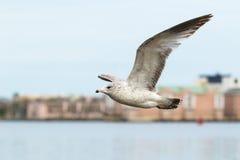 Ring-billed Gull. & x28;Larus delawarensis& x29; in flight Stock Photo