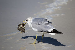 Ring billed Gull (Larus delawarensis) Royalty Free Stock Images