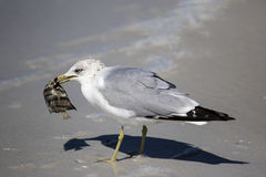 Ring billed Gull (Larus delawarensis) Stock Images