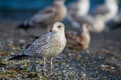 Ring-billed gull Larus delawarensis Stock Photos