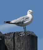 Ring-billed gull  (Larus delawarensis) Stock Photos