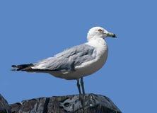 Ring-billed gull ;Larus delawarensis;, New York Stock Images