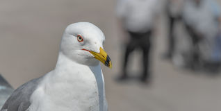 Ring-billed Gull (Larus delawarensis) pauses on a ledge.  close up of very common bird as it looks away from the camera. Royalty Free Stock Photography