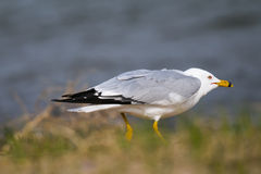 Ring-billed Gull (Larus delawarensis) Stock Images