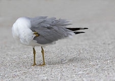 Ring billed Gull (Larus delawarensis) preening Stock Images
