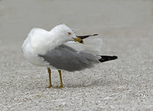 Ring billed Gull (Larus delawarensis) preening Royalty Free Stock Photography