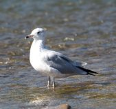 Ring Billed Gull Or Larus Delawarensis. Standing in water in summer Stock Image