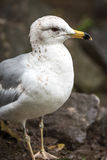 Ring-billed Gull (Larus delawarensis) on rocks at the side of the Ottawa River. Royalty Free Stock Photo