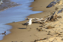 Ring-billed gull. Larus delawarensis on the sandy shore of Lake Superior in Pictured Rocks National Lakeshore, Michigan, USA Stock Photography
