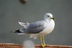 Ring billed gull Larus delawarensis Stock Images