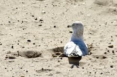 Ring-billed Gull. A ring-billed gull, Larus delawarensis, sitting in a footprint in the sand on the beach Stock Photos