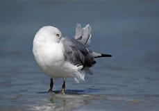 Ring billed Gull (Larus delawarensis) sleeping on beach Stock Photo