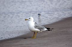 Ring-billed Gull. A ring-billed gull, Larus delawarensis, standing on the beach as the ocean edge Stock Photo