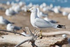Ring-billed Gull - Larus delawarensis stock photo