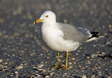 Ring billed Gull (Larus delawarensis) Stock Image