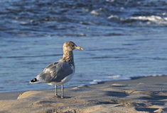 Ring-billed Gull (Larus delawarensis) Royalty Free Stock Photos