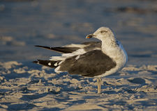 Ring-billed Gull (Larus delawarensis) Royalty Free Stock Image