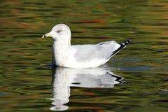 Ring Billed Gull Stock Photos