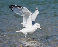 Ring Billed Gull Or Larus Delawarensis Stock Images