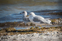 Ring Billed Gull - (Larus delawarensis). Ring Billed Gull walks a shoreline in search of food Stock Images