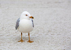 Ring-billed Gull (Larus delewarensis) Stock Photo