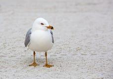 Ring-billed Gull (Larus delewarensis). Ring-billed gull standing on a Florida gulf coast beach Stock Photo