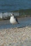 Ring Billed Gull. At Lido Beach in Sarasota Florida during December royalty free stock photo