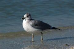 Ring Billed Gull. At Lido Beach in Sarasota Florida during December stock image