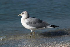 Ring Billed Gull. At Lido Beach in Sarasota Florida during December stock photo
