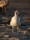 Ring-billed Gull Mouth Open Calling Stock Images