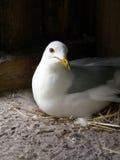 Ring-billed Gull Nesting Royalty Free Stock Photos