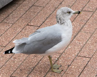 Ring-billed Gull in New York City. Ring-billed Gull (Larus delawarensis) adult in winter plumage on a pier in New York City, USA Royalty Free Stock Photo