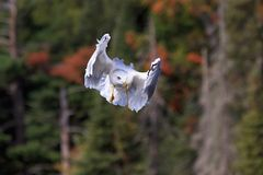 Ring-billed Gull Peek-a-Boo. A ring-billed gull appears to plays peek-a-boo while floating in front of a forest of pines trees royalty free stock image