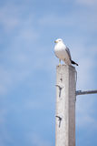Ring billed gull perched on concrete pole Stock Image