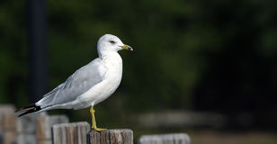 Ring billed Gull. Perched on post Royalty Free Stock Image