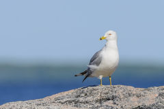 Ring-billed Gull Stock Photo