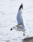 Ring-billed Gull. A picture of a ring-billed gull photographed in Northern California Stock Photography