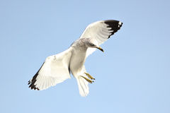 Ring-billed Gull. A picture of a ring-billed gull photographed in Northern California Royalty Free Stock Images