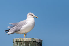 Ring-Billed Gull on Piling. Ring-billed gull with a sharp eye stands against a beautiful blue sky background with available copy space Stock Image