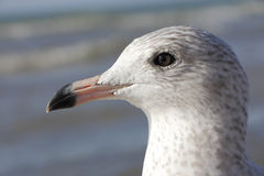 Ring-billed Gull Portrait Stock Photography