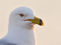 Ring Billed gull posing Royalty Free Stock Images