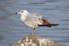 A ring billed gull resting on a rock near a lake. Royalty Free Stock Photo