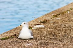 A Ring-Billed Gull. Resting on the pavement located at Belle Isle Park in Detroit, Michigan, USA Royalty Free Stock Photo