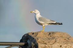 Ring-billed Gull. Standing on a guard rail buttress enjoying the rainbow at Niagara Falls Stock Photography