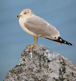 Ring- billed Gull. A Ring- billed Gull on a rock at Lake Erie`s Port Conneaut, Ohio Stock Photography