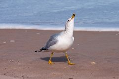 Ring billed gull laughing. Ring billed gull on a sandy beach Stock Image