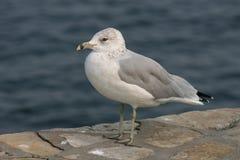 Ring-billed Gull. Ring-Billed Sea Gull along lake shore Royalty Free Stock Photography