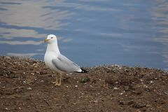 Ring-billed gull on shore. Ring billed gull on lakeshore Royalty Free Stock Images