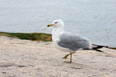 Ring-billed gull. On shore rocks Royalty Free Stock Image